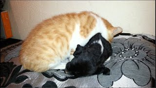The orange kitten takes care of the new puppy