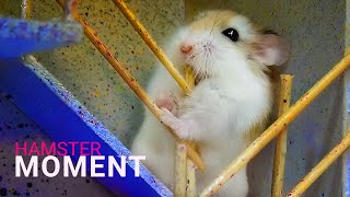 Funny and Cute Hamster Compilation 🐭Funniest Hamsters Of All Time 2020 #shorts
