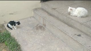 Persian Cat Not Adopting Abandoned Kittens She Is Scaring And Hissing On Them