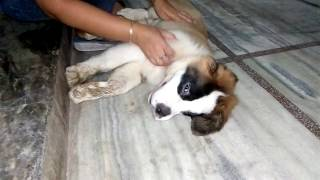 Funny Puppy Refuses To Get Up After Massage/Funny Dogs | Catchy Fusion