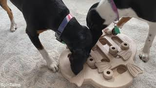 Cute dogs play with treat puzzle