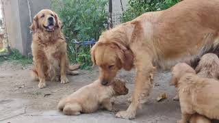 Golden Retriever Puppy for Sale    Golden Retriever complete family in one video    9053119993