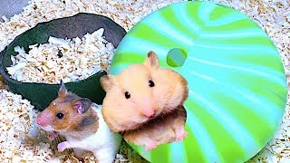 Funny Hamsters Play In A Balls | Very Lovely My Hamsters