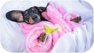 Life is better with pyjama! Cute & funny dachshund dog video!
