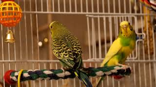 Green budgie Charlie plays with his girlfriend. Funny parrots. Funny birds. Parakeet. Cute parrots