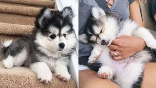 Funny And Cute Husky Puppies Compilation #11  Adorable Husky Puppy