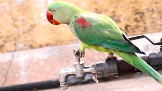 Wow Parrot Drinking Water on A Water Tap || Cute Birds Videos