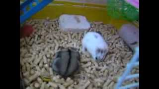 my funny hamsters