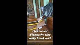 They are not siblings but they make friend well. FUNNY CATS  #shorts