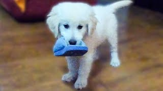 Golden Retriever Puppy 10 weeks old vs. Slippers