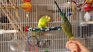 Green budgie Charlie has fun eating. Funny parrots. Funny birds. Parakeet