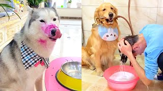 Funny dogs cheat others for good food😚The golden retriever beat the owner💪