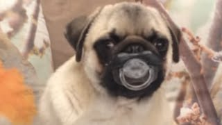 Top 30 Funniest and Cutest Pug Dog Videos Compilation