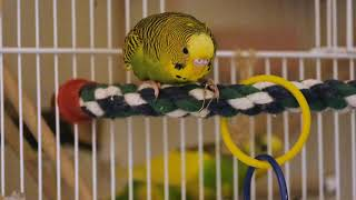 Green budgie Charlie plays with colored rings. Funny parrots. Funny birds. Parakeet. Cute parrots