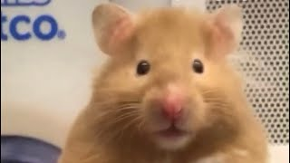 Funny hamsters videos campilation #1