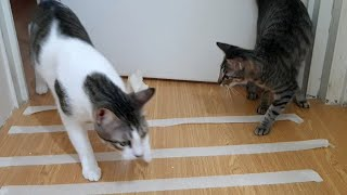 Cat Reaction to Sticky Tape – Funny cat tape reaction -CatsLifePH