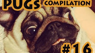 Funny Dogs but only Pug Videos – Pug Compilation 16 | instapugs – Funny Animals