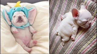 Funny and Cute French Bulldog Puppies Compilation #5 – Cutest French Bulldog