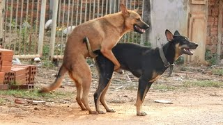 Indian pariah   Kelpie   Hierran wolfdog happy play in the village funny dogs cute dogs