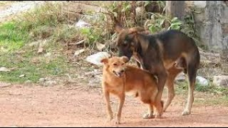 Indian pariah dogs, Happy play before night time   dogs videos   funny dogs videos