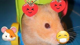 Funny Hamsters #1 Funny Animals Compilation