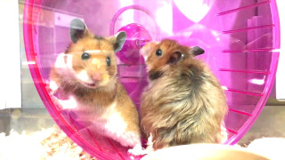Funny and Cute Hamsters!