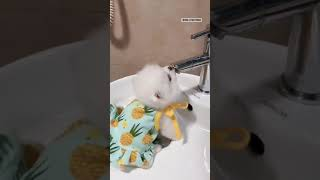 Mini Pomeranian 🐶 cute and funny dogs videos compilation – 2021-30 #Shorts