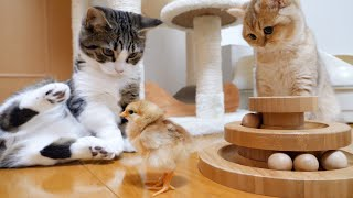 Kitten Coco finally plays with a tiny chick