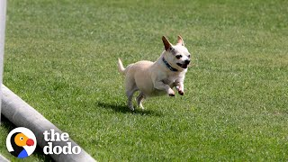 Senior Chihuahua Turns Into A Puppy Once He Finds The Perfect Family  | The Dodo