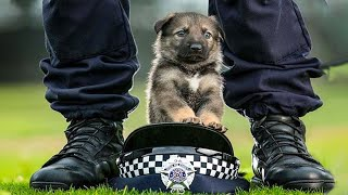 Funny and Cute German Shepherd Puppies Compilation #2 – Funniest GSD