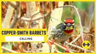 Calling of A CopperSmith Barbets || Cute Birds Videos