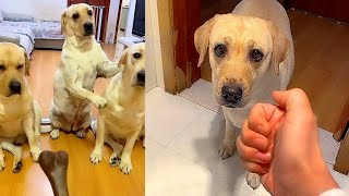 Funny dogs show ingenuity😂Two Labradors behave differently😚
