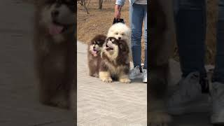 Funny Dogs🐶Angry Pets👿Cute Baby Dog Playing🐩#dog #puppy #cute #babydog #funnydog #angrydog #ASMR
