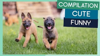 Belgian Malinois Compilation: Cute Puppies, Funny Dogs & Tricks
