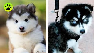 Cute Husky Puppies Funny Compilation #3 – Best of 2020 😍