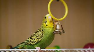 Green budgie Charlie eats and rings the bell. Funny parrots. Funny birds. Budgie. Parrot. Parakeet