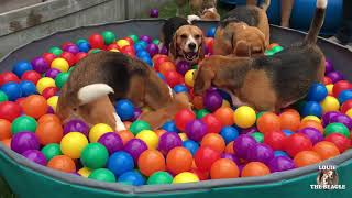 Cute & Funny Dogs having a Ball Pit Party