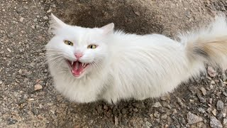 White fluffy cat and other cute cats ask for food, and want to be petted