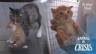 Cat Kidnaps Her Friend's Kittens After She Lost Her Child By A Human | Animal in Crisis EP245