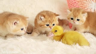 Kittens walk with a tiny Duckling | Episode 1