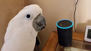 Cockatoo Attempts To Order Farts Off Of Alexa