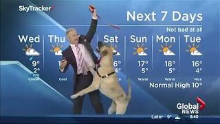 Best funny dogs interrupt work from home live interviews news reports compilation 2021