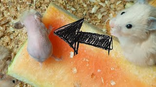 Funniest Hamster without hair and Funny Hamsters eating dry food and meals