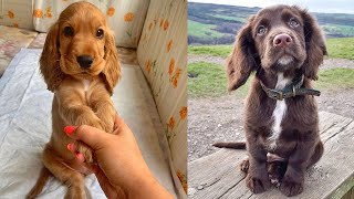 Funniest & Cutest Cocker Spaniel Puppies – Funny Cocker Spaniel Puppy Video Compilation 2021