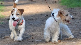 funny DOGs found a CAT in the forest / Jack Russell Terrier puppy and mom are resting