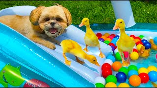 Ducklings with a dog in a water park rolling down the slide