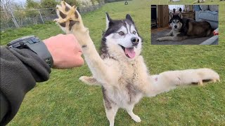 Old Husky turns into a Puppy with one simple thing