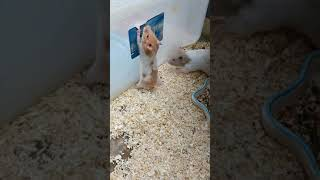 Funny Hamsters | Cute and Funny moments of the animals | Hamster Babies Growing Up P139 #shorts