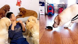 Funny dogs besieging their owner🔥Labrador and the tortoise war💪