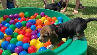 Cute Beagle Puppy Playing in Ball pit with Brothers & Sisters